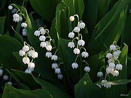 Penhaligon's Lily of the Valley - Eau de Toilette — Bild N2